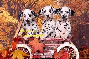 خرید و فروش سگ
