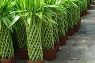 حمل گل طبیعی بامبو. ارکیده از دبی کمتر از 24 ساعت