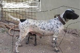 سگ شکاری پویینتر مولد اصیل