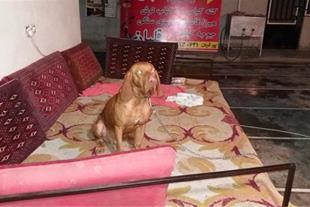 فروس سگ شکاری پویینتر شکاربلد