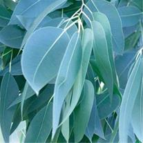 فروش درختان زینتی اکالیپتوس پالونیا