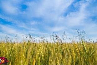 فروش 12 هکتار زمین کشاورزی
