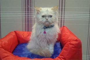 گربه پرشین هیمالین چشم آبی