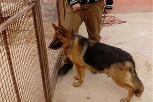 فروش یک قلاده سگ ژرمن شپرد ماده شیب دار و زین اسبی