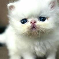 فروش گربه های پرشین سفید چشم آبی و گارفیلدی