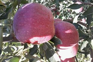 باغ سیب و هلو