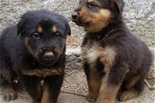 فروش توله سگ میکس ژرمن - دوبرمن فقط در مشهد