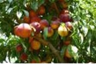 تولید و فروش نهال درختان مثمر شناسه دار با مجوز از