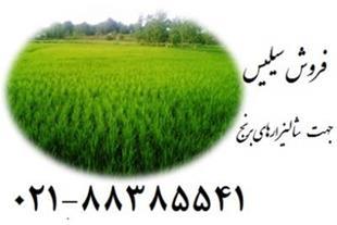 نقش استفاده از سیلیس زمین کاو در شالیزارهای برنج