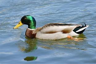 پرورش اردک 09111579718