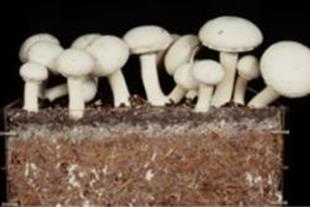 کمپوست بلوکه ی قارچ با درصد بالا