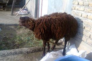 گوسفند برای ذبح (قربانی)