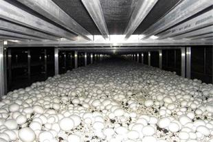 پرورش قارچ دکمه ای