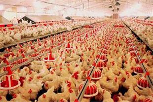 فروش مرغ داری