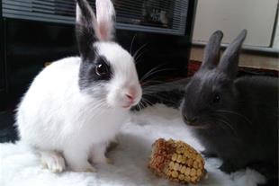 دو عدد خرگوش مینیاتوری