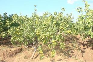 .مین 5 هکتاری باغ پسته و زمین کشاورزی استثنایی