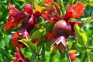 فروش باغ انار در بهشهر