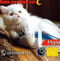 فروش بچه گربه پرشین سفید چشم طلایی