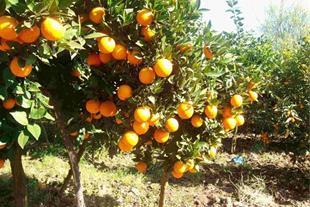 2000 متر باغ میوه تن کابن