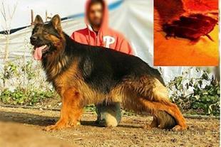 فروش ویژه توله ژرمن شپرد - فروش سگ گارد و نگهبان - 1