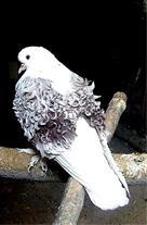 خرید و فروش انواع کبوتر زینتی