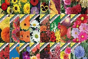 بذر گلهای زینتی::شرگت گلبرگ پامچال تولیدوعرضه بذر - 1