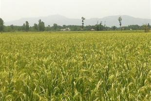 برنج مرغوب ایشکاء