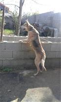 فروش یک جفت سگ نگهبان میکس