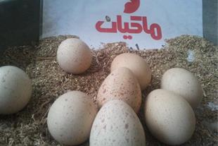 تخم نطفه دار کبک