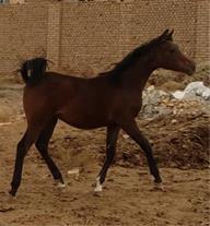 فروش اسب عرب