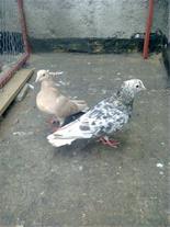 فروش کبوتر