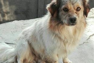 فروش سگ شپرد استرالیایی