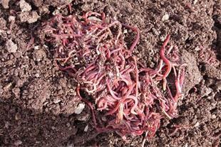 کود بیولوژیک و ارگانیک ورمی کمپوست به قیمت عمده
