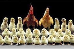 فروش مرغ تخمگزار اصیل .دان مرغوب ، تجهیزات مرغداری
