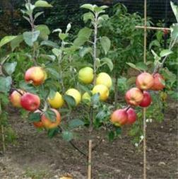 فروش نهال درختان میوه ، نهال مثمر ، نهال زینتی - 1