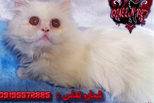 فروش گربه پرشین سفید نر 8 ماهه