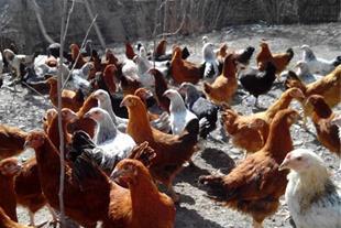 مرغ و خروس اصیل
