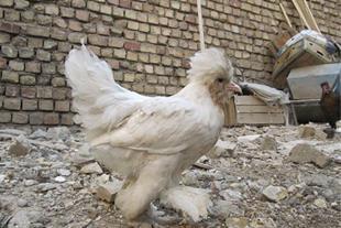 تخم نطفه دار قرقاول و پرندگان تزیینی