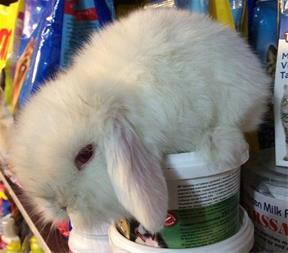 فروش خرگوش لوپ ( توله ) در مشهد - 1