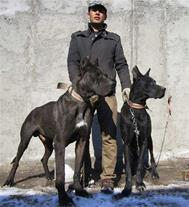 فروش سگ های گریت دین / توله گریت دین در مشهد