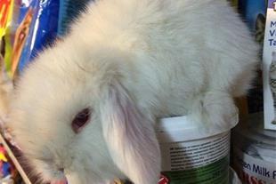 فروش خرگوش لوپ ( توله ) در مشهد