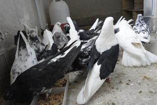 پرورش و فروش کبوترهای نوک جمع و کشیده و زیبا