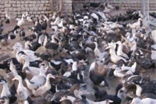 فروش اردک زنده