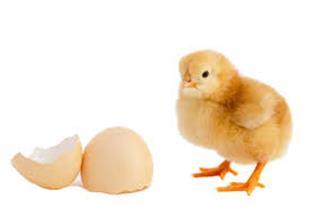 تولید و فروش جوجه مرغ و اردک - 1