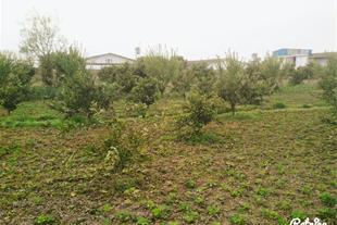 فروش باغ مرکبات در مازندران بهنمیر