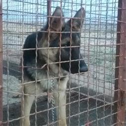 سگ ژرمن شپرد 6ماه - 1