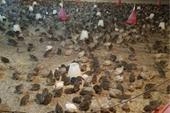 بزرگترین مجتمع تولیدی بلدرچین در استان گلستان