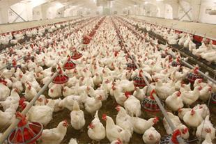 مرغداری گوشتی 45000 قطعه + زمین کشاورزی