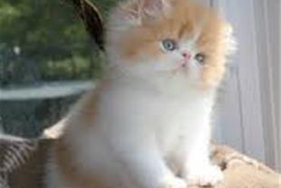 فروش گربه پرشین در مشهد