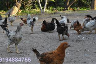 مزرعه پرورش مرغ و خروس بومی شهریار